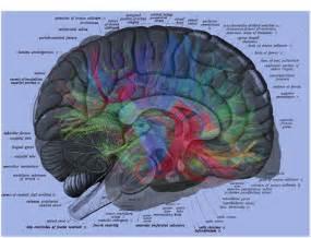 Human Brain Diagram Label