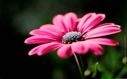 Flower Flowers Wallpapers Desktop Plants Widescreen Spring