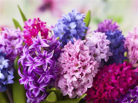 bulbo fiore giacinto fiore bulbi fiore giacinto