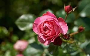 Rosen Düngen Im Frühjahr : rosen im fr hjahr pflegen hinweise von meister meister ~ Orissabook.com Haus und Dekorationen