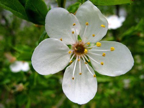 File:Floare de visin.jpg - Wikimedia Commons