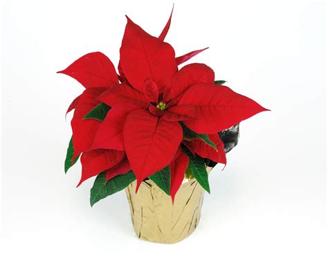 poinsettia plant fun facts care wedels nursery