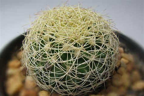 แคคตัส cactus กระบองเพชร ร้านตาเวย suantavoei