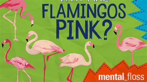 Why Are Flamingos Pink? | Mental Floss