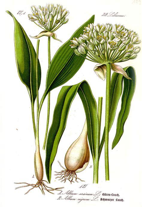 cuisiner l ail des ours allium ursinum wikipédia