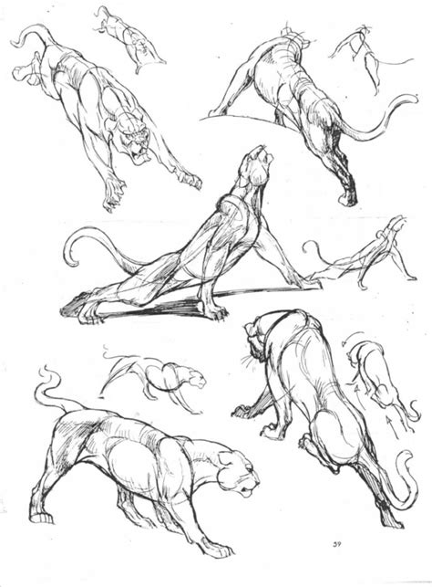 lion tiger felines anatomy big cats reference book scans