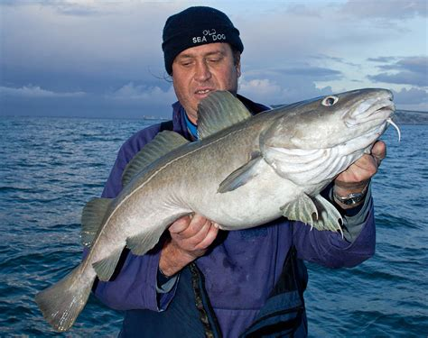 How To Fish For Cod From A Boat uk fish species 10 key fish for boat anglers boats