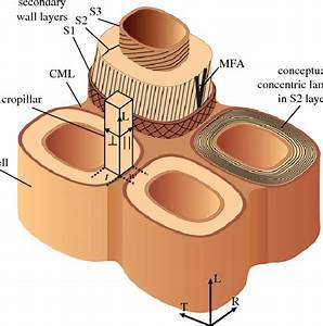 Schematic Of Cell Wall Layers Within Cellular Structure Of