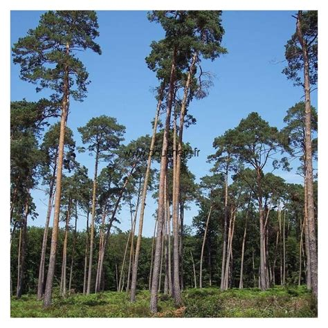 Pinus Sylvestris  Pin Sylvestre