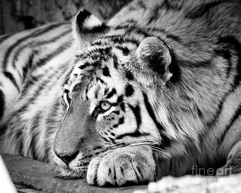 Tiger in Black and White Photograph by Steven Reed