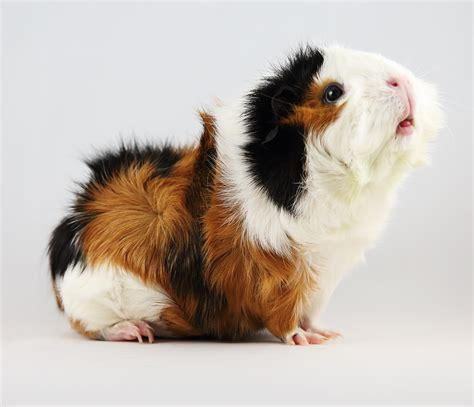 guinea pig breeds guinea pig breeds types of guinea pigs differences between breeds