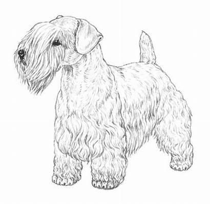 Breed Sealyham Terrier