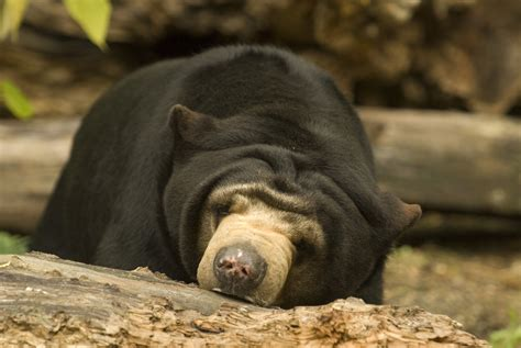 sun bear wallpapers images  pictures backgrounds