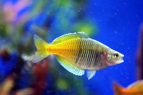 melanotaenia boesemani  boesemani rainbowfish profile  care maintenance requirements