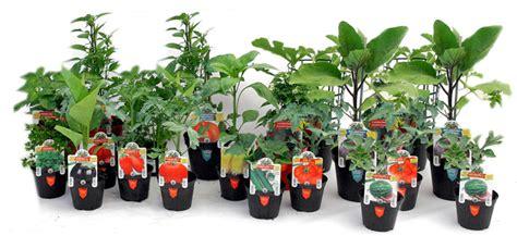 coltivare pomodori in vaso trapianto e coltivazione dei pomodori in vaso