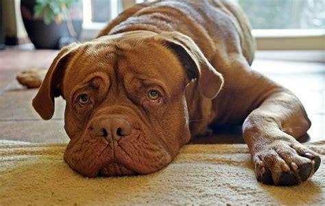 Bordeauxdogge Sucht Couch » Hector, Bxrüde, 3 Jahre