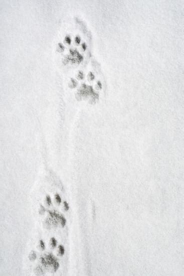 snow leopard tracks photographic print  allposterscom
