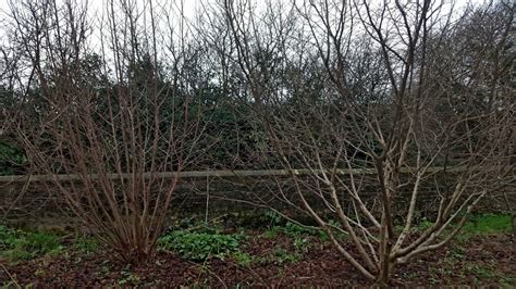 pruning hazelnut trees when to prune hazelnut trees 28 images hazelnuts filberts in my garden homeplace earth