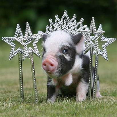 Micro Pig Adorable Pigs Ever