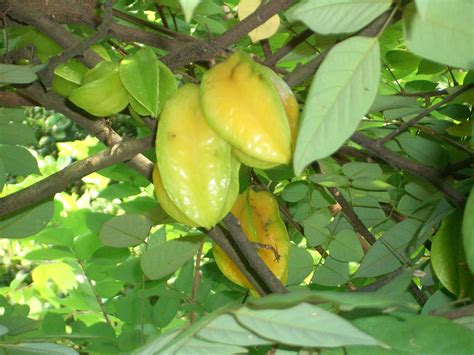 Star Fruit
