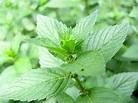 Mentha spicata : origine, culture, entretien - Ooreka
