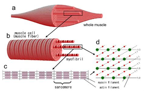 punch blog muscle fiber