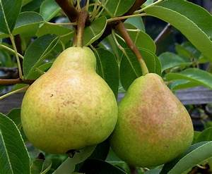 Non-Bearing Pear Trees - What To Do For A Pear Tree Not ...  Pear