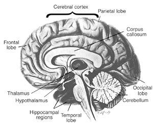 alcohols damaging effects   brain