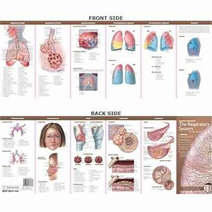 Anatomy  U0026 Disorders Of The Respiratory System Study Guide