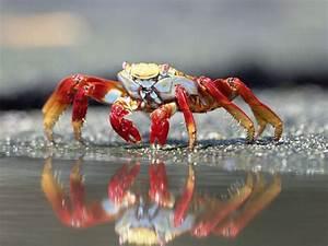 True Crabs Are Decapod Crustaceans Of The Infraorder