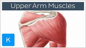 Muscles Of The Upper Arm And Shoulder Blade