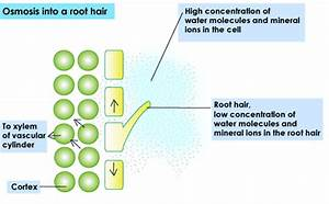 Biology Journal  Cellular Homeostasis  Root Hair Cell  U0026 Villi Cell