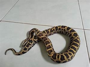 scaleless burmese python | Snake! | Pinterest