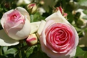 Begleitpflanzen Für Rosen : die sch nsten rosen f r den hausgarten ~ Orissabook.com Haus und Dekorationen
