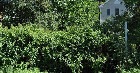 Superoceras Backyard Botany Invasive Vines