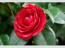 The Culture of Camellias The State Flower of Alabama