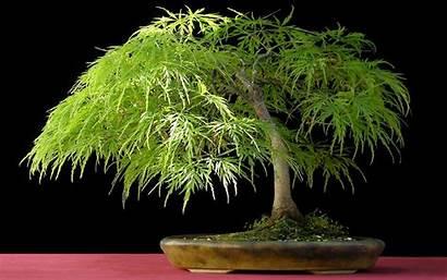 Tree Bonsai Computer Trees Desktop Japan Backgrounds