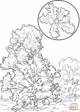 Oak Coloring Bur Pages Tree Printable Elm Trees Template Designlooter Drawing Drawings Categories sketch template