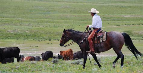 cattle horses bulls ranch bull irish company herd guy