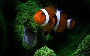 Clown Fish Wallpaper HD - WallpaperSafari