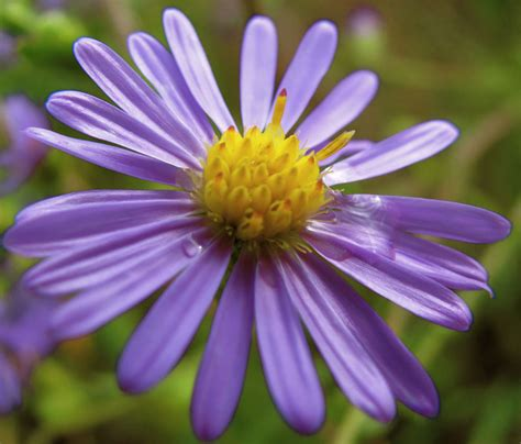 when to divide asters aster flowers