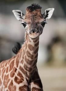 baby rothschild giraffe is popular with flamingo land