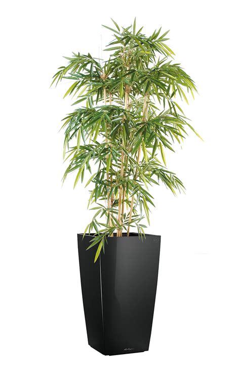 bureau bambou bambou 120 à 180 cm plantes de bureau salle de réunion