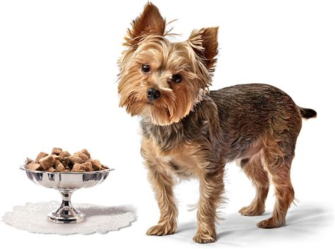 zywienie yorka najlepsza karma dla yorkshire terriera
