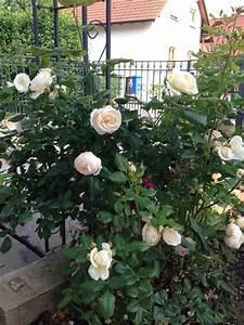Ich Suche Garten : suche stachellose kletterrose mein sch ner garten forum ~ Whattoseeinmadrid.com Haus und Dekorationen