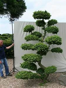 ulmus minor 39jacqueline hillier39 h 280 cm b 200 cm With französischer balkon mit garten bonsai baum
