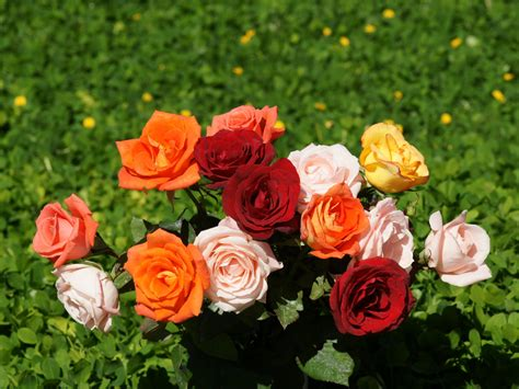 picture collection rose flower pics
