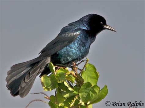 boat tailed grackle species information and photos
