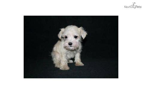 Schnoodle Puppy For Sale Near Fargo Moorhead North Dakota Ad Ae