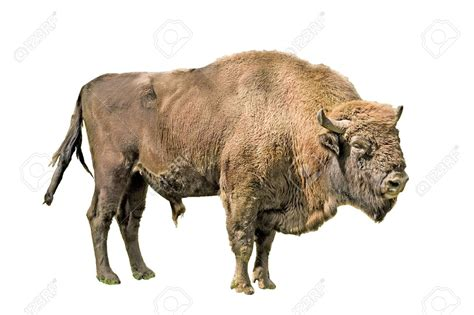 bison pictures kids search